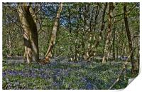 Bluebells in the woods, Print